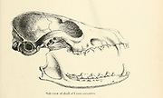 """side view of a Skull of a Desert Fox (Canis leucopus) From the Book Dogs, Jackals, Wolves and Foxes A Monograph of The Canidae [from Latin, canis, """"dog"""") is a biological family of dog-like carnivorans. A member of this family is called a canid] By George Mivart, F.R.S. with woodcuts and 45 coloured plates drawn from nature by J. G. Keulemans and Hand-Coloured. Published by R. H. Porter, London, 1890"""