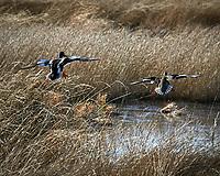 Northern Shoveler (Spatula clypeata). Alamosa National Wildlife Refuge, Colorado. Image taken with a Nikon D300  camera and 80-400 mm VR lens