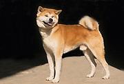 "Pedigree Dog - Shiba Inu ""Little Brushwood Dog"". the smallest of the six original and distinct breeds of dog from Japan. profile"