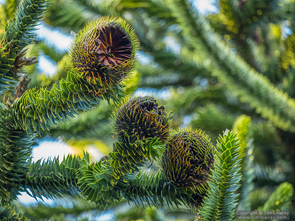 Close Up Of The Female Fruit of the Monkey Puzzle Tree (Araucaria araucana). The Nut-like Seeds Produced By The Female Cones Are Edible.