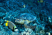 hawksbill sea turtle, Eretmochelys imbricata, feeding on coral rubble with emperor angel, Pomacanthus imperator, regal angel and moorish idol, waiting for scraps, Layang Layang Atoll, Malaysia  ( South China Sea )