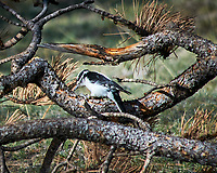 American Three-toed Woodpecker. Rocky Mountain National Park. Image taken with a Nikon D300  camera and 80-400 mm VR lens