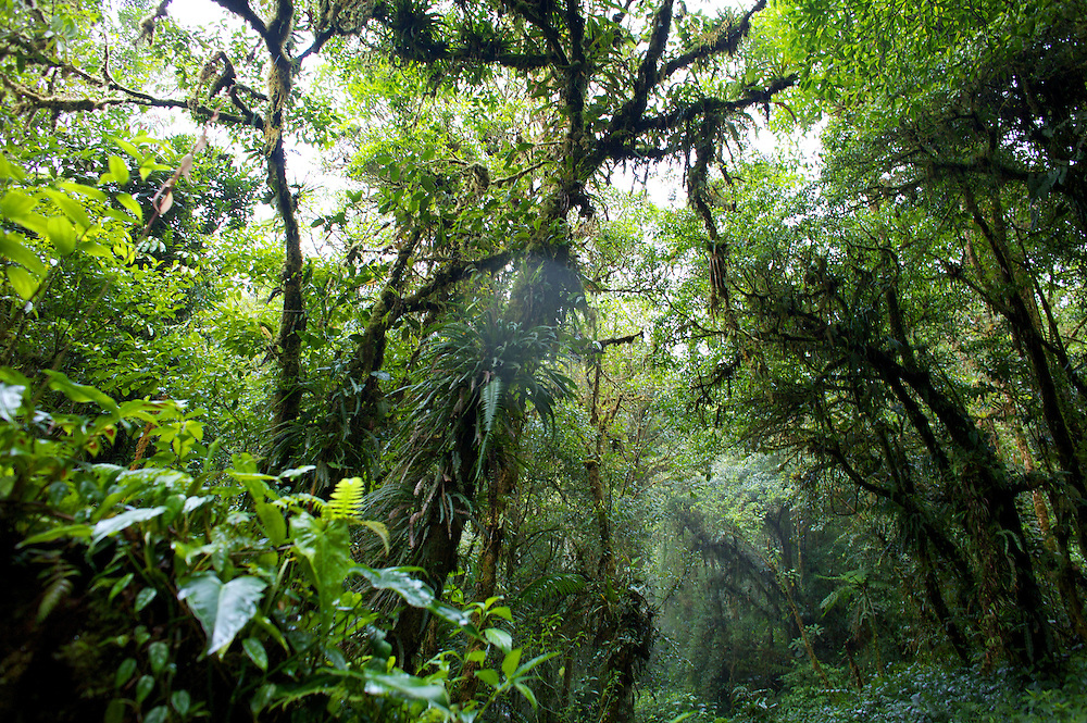 The dense jungle forms large canopies along the Ngobe Indian trail in the Cloud Forest near Boquete, Panama.  The trail is still used by the indigenous Panamanians to get from the province of Bocas del Toro to Boquete.