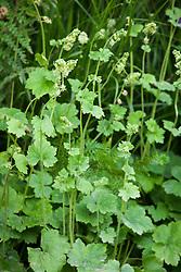 Tellima grandiflora, Fringe cups