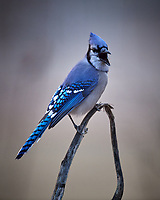 Blue Jay. Image taken with a Nikon D5 camera and 600 mm f/4 VR lens (ISO 1600, 600 mm, f/4, 1/250 sec)