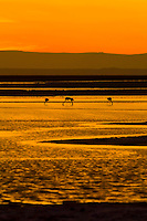 James' Flamingos at sunset on the Chaxa Lagoon, Atacama Salt Flat (Salar de Atacama), Los Flamencos National Reserve, Atacama Desert, Chile