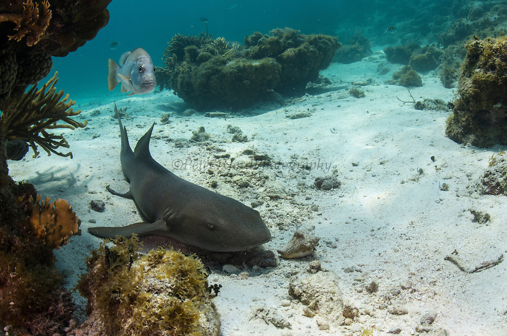 Nurse Shark (Ginglymostoma cirratum) & Dog Snapper (Lutjanus jocu)<br /> Hol Chan Marine Reserve<br /> near Ambergris Caye and Caye Caulker<br /> Belize Barrier Reef, second largest barrier reef in the world<br /> Belize<br /> Central America