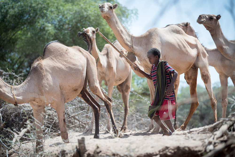 27 January 2019, Burka Dare IDP site, near Micha, Seweyna woreda, Bale Zone, Oromia, Ethiopia: A boy herds a group of camel by the river bank near Burka Dare site for Internally Displaced People. The Lutheran World Federation supports internally displaced people in several regions of Ethiopia, through emergency response on water, sanitation and hygiene (WASH) as well as long-term development and empowerment projects, to help build resilience and adapt communities' lifestyles to a changing climate.