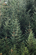 Sitka spruce, mixed ages