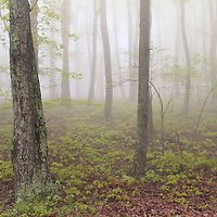"""""""Misty Woodlands""""<br /> <br /> Wonderful early morning fog in the woods of the Blue Ridge mountains!!<br /> <br /> The Blue Ridge Mountains by Rachel Cohen"""