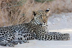 Leopard relaxing at Etosha National Park, Namibia, Africa