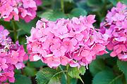 flowering Pink Hortensia flower. Photographed in Saint-Bertrand-de-Comminges, France