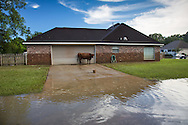 Lost cow in Denham Springs Louisiana after a record flood.