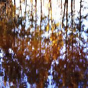 Reflections of casuarinas, Hunter Valley, Australia