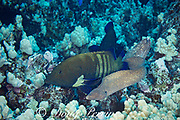 a hunting coalition consisting of peacock groupers, blue-spotted grouper, peacock hind, or roi, Cephalopholis argus, and a whitemouth moray eel, Gymnothorax meleagris; Honokohau, North Kona, Big Island, Hawaii, USA; the groupers follow the eel, then station themselves by reef openings to block the exits as the eel hunts inside the reef; both parties benefit from increased hunting success