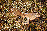 One of the largest giant silk moths we have in North America, the Polyphemus moth is found pretty much everywhere in North America from southern Canada and all of the lower forty-eight states except for Nevada and Arizona. This extraordinary large six-inch specimen was spotted at a rest area in Madison County, Florida struggling with a particularly windy afternoon on a chilly North Florida winter morning.