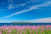 Fireweed wildflowers and Bonaventure Island in the Atlantic Ocean at the end of the Gaspe Peninsula. Parc national de l'Île-Bonaventure-et-du-Rocher-Percé. This is a provincial parc, not a true federal park.<br />Percé<br />Quebec<br />Canada
