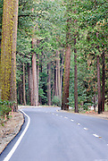 A road cuts through the tall trees in Yosemite National park in this picture of California.