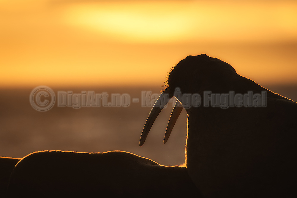 Walrus at sunrise, Moffen Island, Spitsbergen | Hvalross i soloppgang på Moffen, Svalbard