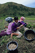 Women workers picking peanuts. Batak agriculture, rice padis and vegetable crops, including peanuts, surround their traditional villages..Batak Indigenous Christian people living on Samosir Island and nearby Lake Toba in Indonesia. There are some 6 million Christian Batak in Indonesia, the world's largest Muslim country of 237 million people, which has more Muslims than any other in the world. Though it has a long history of religious tolerance, a small extremist fringe of Muslims have been more vocal and violent towards Christians in recent years. ..Batak religion is found among the Batak societies around Lake Toba in north Sumatra. It is ethnically diverse, syncretic, liable to change, and linked with village organisations and the monotheistic Indonesian culture. Toba Batak houses are boat-shaped with intricately carved gables and upsweeping roof ridges, and Karo Batak houses rise up in tiers. Both are built on piles and are derived from an ancient Dong-Son model. The gable ends of traditional houses, Rumah Bolon or Jabu, are richly decorated with the cosmic serpent Naga Padoha carved in wood or in mosaic, lizards, double spirals, female breasts, and the head of the singa, a monster with protruding eyes that is part human, part water buffalo, and part crocodile or lizard. The layout of the village symbolises the Batak cosmos. They cultivate irrigated rice and vegetables. Irrigated rice cultivation can support a large population, and the Toba and the Karo live in densely clustered villages, which are limited to around ten homes to save farming land. The kinship system is based on marriage alliances linking lineages of patrilineal clans called marga. In the 1820's Islam came to the southern Angkola and Mandailing homelands, and in the 1850's and 1860's Christianity arrived in the Angkola and Toba region with Dutch missionaries and the German Rheinische Mission Gesellschaft. The first German missionary caused the Dutch to stop Batak communal sacrificial rituals and m