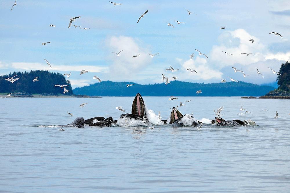 Humpback Whales Bubble Netting, Icy Strait, Alaska
