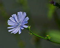 Chicory. Image taken with a Nikon D850 camera and 200-500 mm f/5.6 VR lens