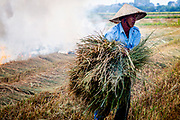 Rice farmer picks up a bundle of hay to burn in his harvested rice fields.