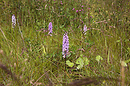 'Wild Orchid, 2014' from the project 'The Fall and Rise of Ravenscraig' by photographer Colin McPherson.<br /> <br /> Photograph shows a wild orchid growing on the site of the former Ravenscraig steelworks.<br /> <br /> This project, photographed in 2014, looks at the topography of the post-industrial landscape at Ravenscraig, the site until its closure in 1992 of the largest hot strip steel mill in western Europe. In its current state, Ravenscraig is one of the largest derelict sites in Europe measuring over 1,125 acres (4.55 km2) in size, an area equivalent to 700 football pitches or twice the size of Monaco. It is currently being developed with a mix of housing, retail and the home of South Lanarkshire College and the Ravenscraig Regional Sports Facility.