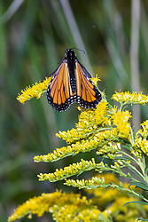 A monarch butterfly (Danaus plexippus) on the flower of tall goldenrod (Solidago altissima)
