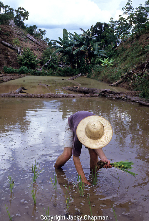People of the Murat hill tribe in Malaysia working in the Paddy fields