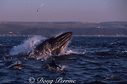 Bryde's whale and long-beaked common dolphins, Delphinus capensis, bust through bait ball of sardines off east coast of South Africa during Sardine Run