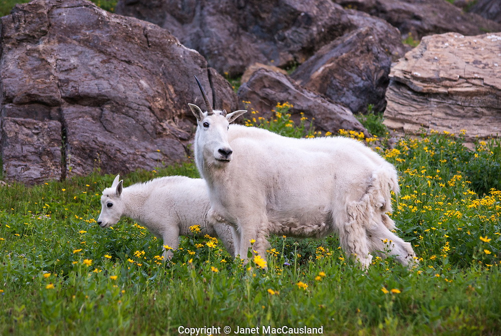 This mother Mountain Goat has a broken horn. Perhaps she lost it protecting her kid who keeps close by. In the summer, Glacier National Park is full of wildflowers making the most of a short season. The mother goat is still shedding last winters' coat.