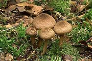 woolly fibrecap<br /> Inocybe lanuginosa var lanuginosa