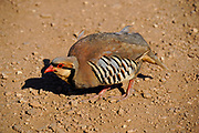 Chukar (Alectoris chukar) on the ground. Photographed at Cape Sounion, Greece in June