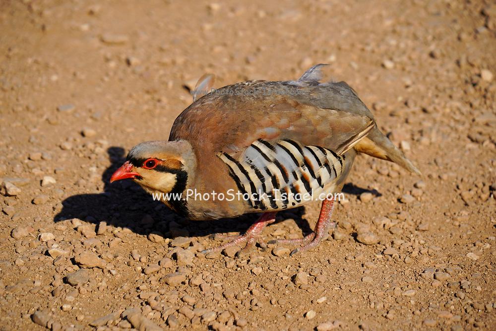 Chukar (Alectoris chukar) on the ground. Photographed at Cape Sounion, Greece in June