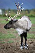 11th September 2008, Wasilla, Alaska. A reindeer near the home of US Republican Vice Presidential pick Sarah Palin in Alaska. PHOTO © JOHN CHAPPLE / REBEL IMAGES.tel: +1-310-570-910
