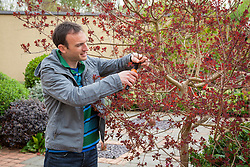 Pruning a cotinus with secateurs. Smoke bush.