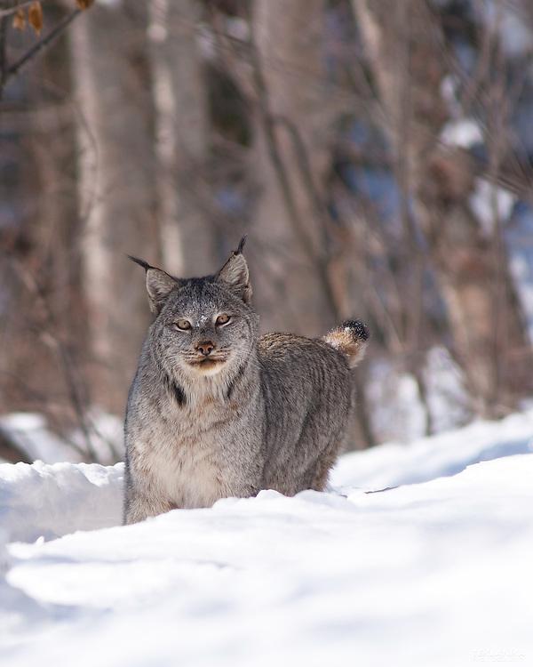 Alaskan Lynx on a trail in the snow.