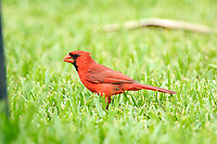 Male Northern Cardinal (Cardinalis cardinalis) searching for seed fallen from feeder, Wellington, Florida, USA   Photo: Peter Llewellyn