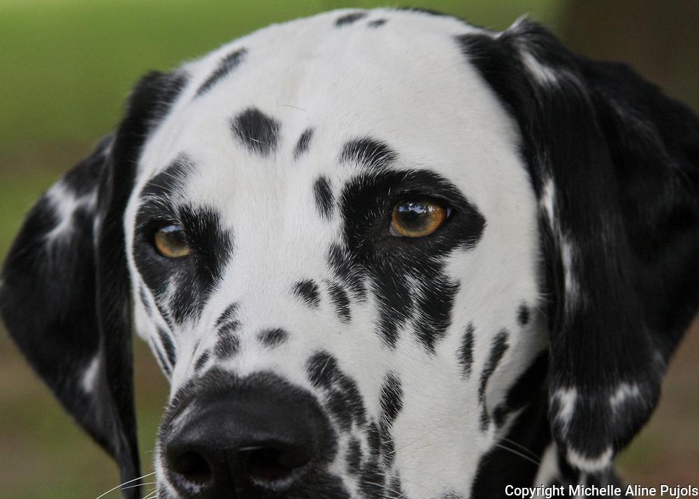 Dalmatian dog close up head shot..