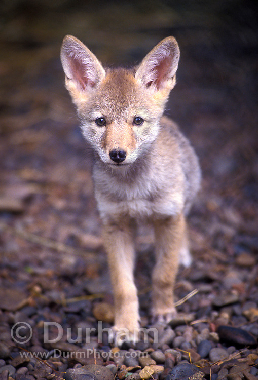 A wild coyote (Canis latrans) puppy (approx 9 weeks old) in the Willamette National Forest, Oregon.