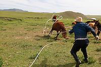 Mongolie. Province de Tov. Rassemblement des troupeaux de chevaux. // Rallying of horses drove. Tov province. Mongolia.