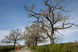 Quainton, UK. 26th April, 2021. HS2 security guards monitor a Stop HS2 activist occupying a mature oak tree on the opposite side of the road in order to try to prevent it and two other oak trees from being felled to construct a temporary access road for the HS2 high-speed rail link. Environmental activists continue to oppose the controversial HS2 infrastructure project from a series of protection camps along its Phase 1 route between London and Birmingham.