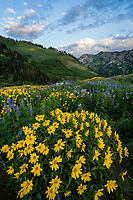 A bright cluster of yellow balsamroot wildflowers in the high mountains new Salt Lake City, Utah at sunrise.
