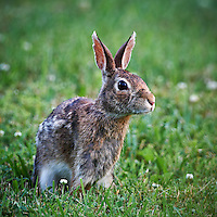 Rabbit in Backyard. Late Spring Nature in New Jersey. Image taken with a Nikon D3x and 500 mm f/4 VR lens (ISO 400, 500 mm, f/4, 1/160 sec). Raw image processed with Capture One Pro, Focus Magic, and Photoshop CS5.