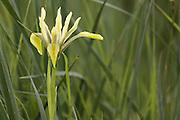 Israeli (or Palestinian) Iris (Iris palaestina)