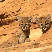 Mountain Lion or Cougar, (Felis concolor) Pair of cubs in canyonlands of southern Utah Red rock country. Captive Animal.