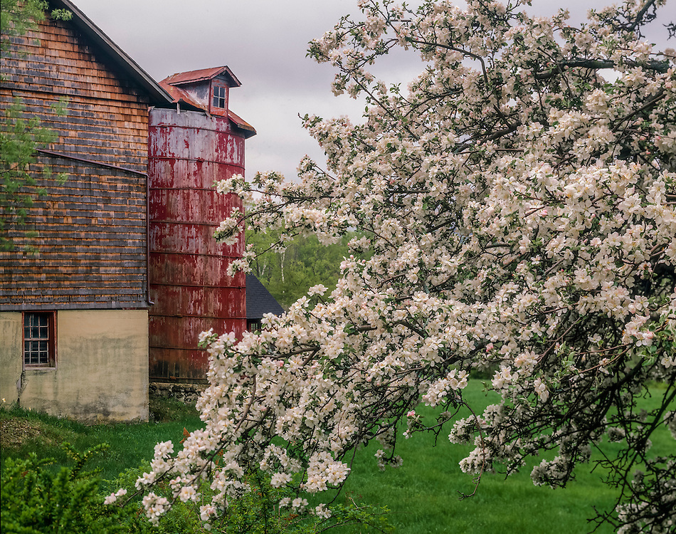 Apple tree in bloom & weathered silo at Blueberry Hill Farm, Mt Washington, MA