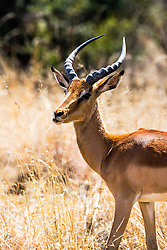Red Lechwe Buck, the lechwe are on of South Africa's large variety of antelope. Kruger National Park.