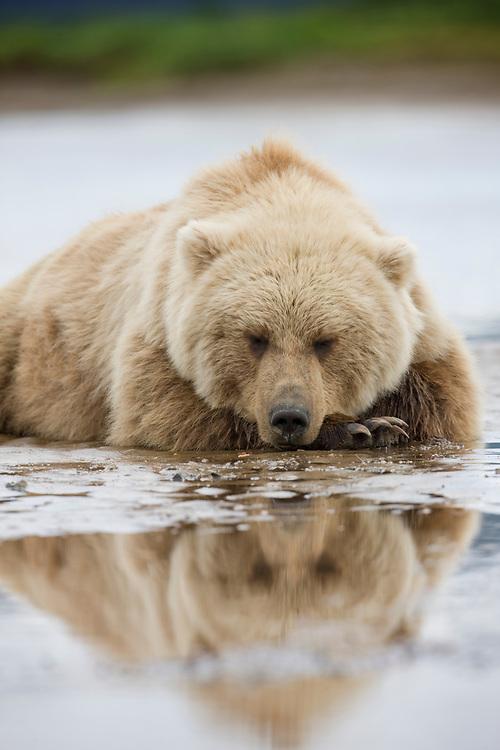 USA, Alaska, Katmai National Park, Brown bear (Ursus arctos) sleeping along stream bed along Hallo Bay